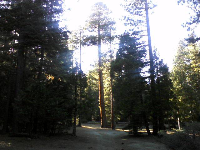 A sugar pine?