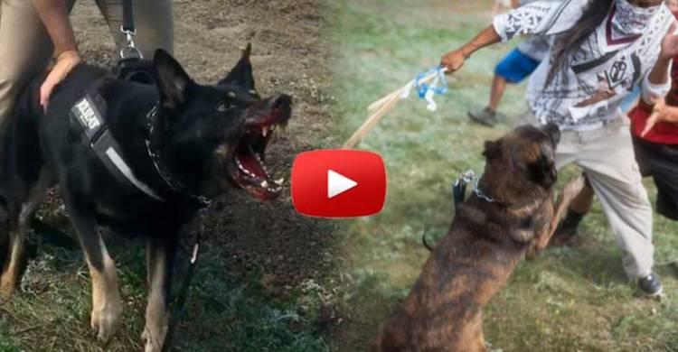 dapl-attack-dogs